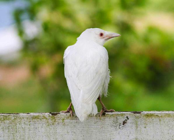 Corvo branco